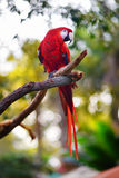 Red macaw parrot on a branch Royalty Free Stock Image