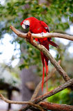 Red macaw parrot on a branch Royalty Free Stock Photography