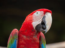 Red Macaw Parrot , close up Royalty Free Stock Photo