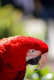 Red macaw parrot Royalty Free Stock Image
