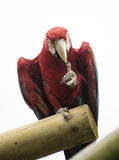 Red macaw parrot Stock Photos