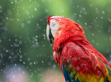 Red Macaw parrot sleeping in the rain. Royalty Free Stock Images
