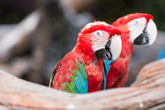 Red macaw parrot stand on branch Stock Image