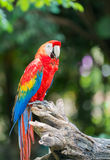 Red macaw parrot stand on branch Royalty Free Stock Photography