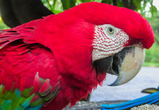 Red macaw parrot royalty free stock images