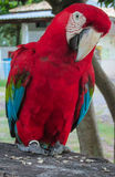 Red macaw parrot. Tropical colorful bird Royalty Free Stock Images