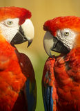 Red macaw parrots Stock Images