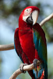 Red Macaw perched on a tree Royalty Free Stock Image