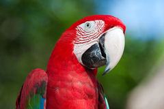 Red Macaw perched on a tree Royalty Free Stock Images