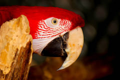 Red macaw. Perching on a branch Stock Photography