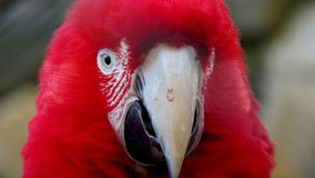 RED MACAW. Photo of arara taken at the zoo Royalty Free Stock Image