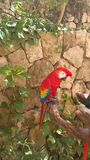 Red macaw resting on tree branch royalty free stock images