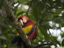 Red Macaw sits on branch, colorful plumage, stock images