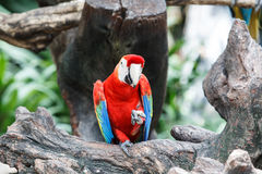 Red macaw sitting on branch. In Safari Park, Thailand Stock Images