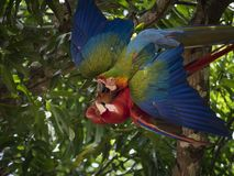 Red Macaw and Yellow-breasted Macaw flutter in quarrel stock photos