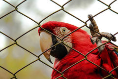 Red macaw. Royalty Free Stock Photos