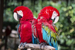 Red macaws Royalty Free Stock Images