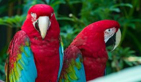 Red Macaws. Two Red colored Macaws beside each other in the trees Royalty Free Stock Images