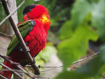 Red Maccaw. Its a very beautiful shot of colour- full maccaw Royalty Free Stock Photo