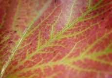Red macro leaf from tree shot like ecology plant abstract patter Royalty Free Stock Image