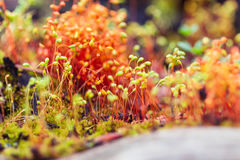 Red macro moss seeds in forest royalty free stock photo