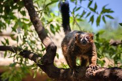 Red madagascar lemur. Portrait of a rubriventer lemur on branch of three in the Park Royalty Free Stock Images