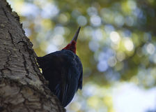 Red magellanic woodpecker photographed from below. Walking across the national parks of Chile and Argentina i saw these birds from time to time. Beautiful to see stock photos