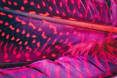 Red, magenta feather background, extreme close up Stock Photography