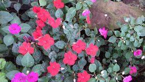 Red and magenta flowers together Stock Photo