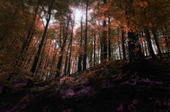 Red magic forest in autumn Stock Images