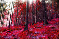 Red magic forest with lights and sunbeams Royalty Free Stock Photography