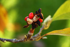 Red magnolia berries on the branch , autumn moments. Red magnolia berries on the branch Royalty Free Stock Photo