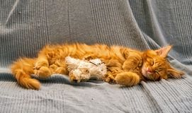 Red Main Coon kitten. In a domestic setting Stock Photo