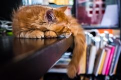Red Main Coon kitten. In a domestic setting Royalty Free Stock Photos