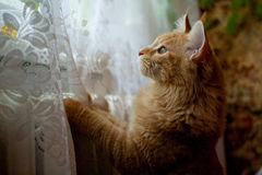 Red Maine Coon cat stock image
