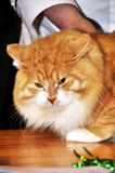 Red Maine Coon cat Stock Images