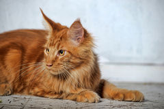 Red  Maine Coon cat Royalty Free Stock Photo