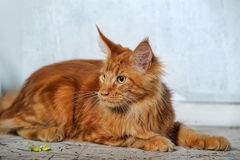 Red  Maine Coon cat Royalty Free Stock Image