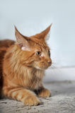 Red  Maine Coon cat Royalty Free Stock Photos