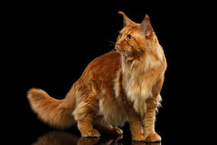 Red Maine Coon Cat with Furry Tail Isolated on Black Royalty Free Stock Images