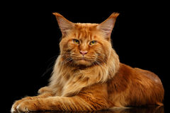 Red Maine Coon Cat Lying, Looking in Camera Isolated Black Stock Photos