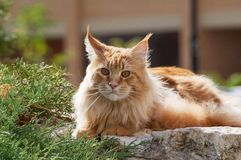 Red Maine Coon cat portrait Stock Photos