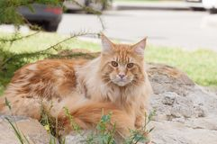 Red Maine Coon cat portrait Royalty Free Stock Photography