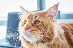 Red Maine Coon Cat Portrait Royalty Free Stock Photo