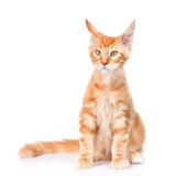 Red maine coon cat sitting in front view. isolated on white back Royalty Free Stock Photo
