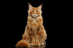 Red Maine Coon Cat Sitting with Furry Tail Isolated Black Stock Image
