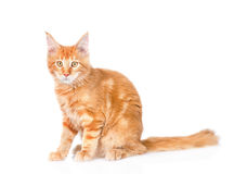 Red maine coon cat sitting in side view. isolated on white backg Stock Photo