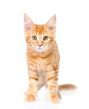 Red maine coon cat standing in front view.  on white bac Stock Photos