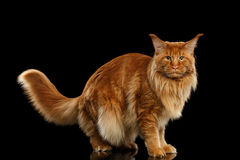 Red Maine Coon Cat Standing with Furry Tail Isolated Black Royalty Free Stock Photo