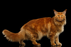 Red Maine Coon Cat Standing, Looking in Camera Isolated Black Royalty Free Stock Photography